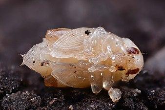 Psylliodes chrysocephala (31906272736).jpg