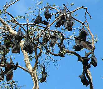 Black flying fox - Group in northern New South Wales, Australia