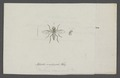 Ptiolina - Print - Iconographia Zoologica - Special Collections University of Amsterdam - UBAINV0274 038 12 0010.tif