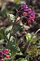 Pulmonaria saccharata 'Leopard' 04.jpg