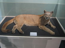 http://upload.wikimedia.org/wikipedia/commons/thumb/3/37/Puma_1.JPG/220px-Puma_1.JPG