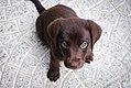 Puppy by Jairo Alzate, 2015.jpg