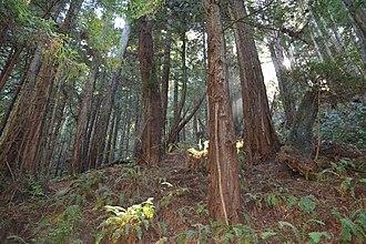 Purisima Creek Redwoods Open Space Preserve - Redwoods in the preserve