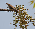 Purple-rumped Sunbird (Leptocoma zeylonica) on Lannea coromandelica fruits W IMG 7875.jpg