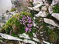 Purple Saxifrage on Sgurr Ban - geograph.org.uk - 68475.jpg