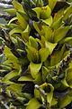Puya chilensis 03.jpg