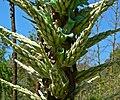 Puya chilensis 5.jpg