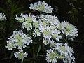 Pycnanthemum virginianum 2016-07-19 2830.jpg