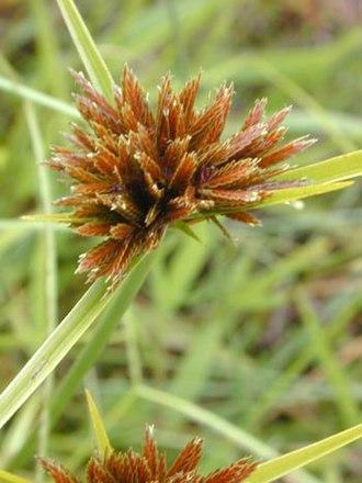 Cyperaceae - Cyperus polystachyos flower head