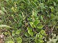 Pyrola rotundifolia PID1550-1.jpg