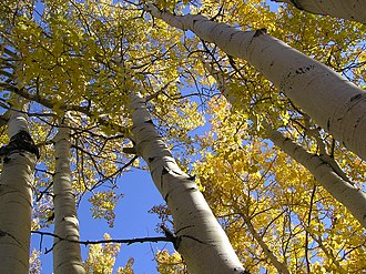 Pando (tree) - A trunk or stem of Pando
