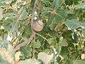 Quercus faginea e bugalho.JPG