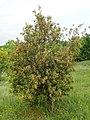 Quercus ilex kz06.jpg
