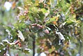 Quercus robur - Hrast luznjak (2).jpg