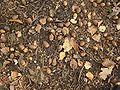 Quercus robur 04 ies.jpg