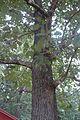 Quercus velutina (23523218683).jpg