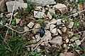 Rañadoiro-Insectos - panoramio.jpg