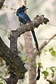 Racket Tailed Drongo.jpg