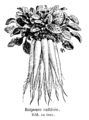 Raiponce cultivée Vilmorin-Andrieux 1904.png