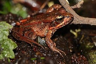 Northern red-legged frog - Image: Rana aurora 6230
