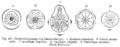 Ranunculaceae flowerdiagrams.png