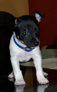 Rat Terrier Wikipedia