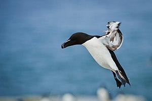 Razorbill Landing (Unsplash).jpg