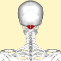 Rectus capitis posterior minor muscle back.png