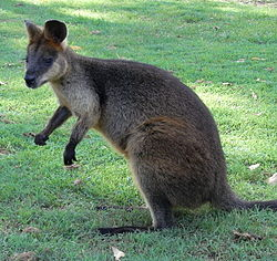 Red-Necked Wallaby Side.JPG