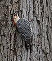 Red-bellied Woodpecker (33186952962).jpg