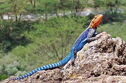 L'Agame des colons, ou margouillat, (nom scientifique: Agama agama) est l'une des espèces d'agames les plus connues. Il vit en Afrique.