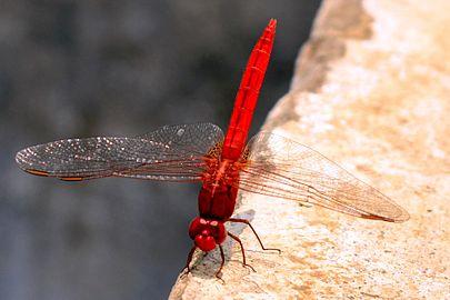 Red-hopper.jpg