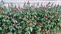 Red Button Ginger (Costus woodsonii) 7.jpg