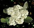 Red Tip Photinia -- Photinia fraseri.jpg