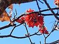 Red flower western australia.jpg