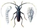 Reitter-1912 bugs3135 larva.png