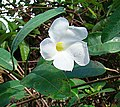 Rhabdadenia biflora, a flower of the Mangrove Rubber Vine - Flickr - Dick Culbert.jpg