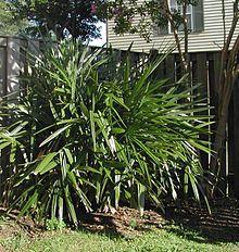 Rhapidophyllum Strongbad1982.jpg