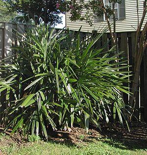 Rhapidophyllum - Specimen planted in a Maryland back yard