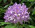 Rhododendron Species (35815862096).jpg