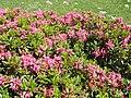 Rhododendron ferruginum (Pyrenees) 3.JPG