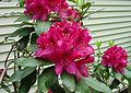 Rhododendron in Coventry, RI 2.jpg