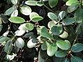 Rhododendron williamsianum - Botanischer Garten, Frankfurt am Main - DSC03368.JPG