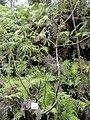 Rhus trichocarpa - Miyajima Natural Botanical Garden - DSC02418.JPG
