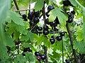 Ribes Odoratum2.JPG