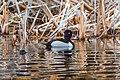 Ring-necked Duck (male), Isabel Lake, Kamloops (8727137375).jpg