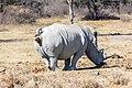Rinoceronte blanco (Ceratotherium simum), Santuario de Rinocerontes Khama, Botsuana, 2018-08-02, DD 07.jpg