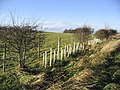 Roadside hedge near Whaup Moor - geograph.org.uk - 301566.jpg