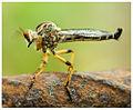 Robberfly from perumbavoor.jpg