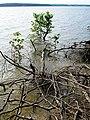 Roots Parkers Creek Jordan Lake NC SP 3821 (36009138621).jpg